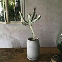 Euphorbia White Ghost(ユーフォルビア・ホワイトゴースト)