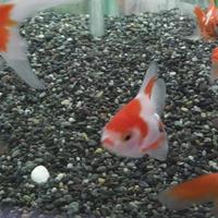 2010110062117サラサ琉金平賀養魚場産, loc, 123311