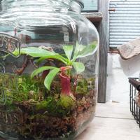 【My little garden】ボトル・ボタニカル・ガーデン 食虫植物作成キット