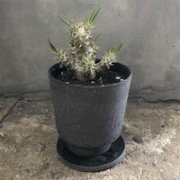 PACHYPODIUM ROSULATUM VAR. GRACILIUS × IONIA THIN BOTTOM/ BPP-0155 + BPA-0044