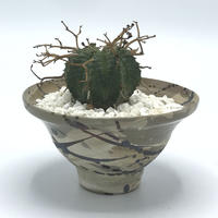 EUPHORBIA VALIDA×SPLASH POT / BPP-0136