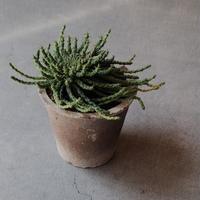 ユーフォルビア  孔雀冠 Euphorbia flanaganii