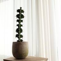 ユーフォルビア・グランディコルニス  Euphorbia grandicornis