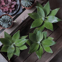 Agave attenuata アガベ  アテナータ