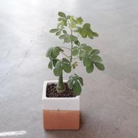 Adenia glauca  アデニアグラウカ  幻蝶蔓