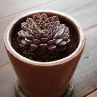 エケベリア ピンクサラゴーサ  Echeveria mexensis 'P.Zalagosa'