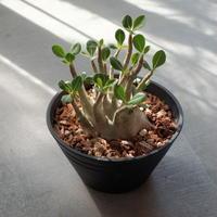 アデニウム ソコトラナム Adenium socotranum