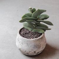 クラッスラ神刀 Crassula perfoliata var. falcta