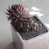 Sempervivum 個体種不明