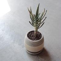 アロエ  ディコトマ Aloe dichotoma
