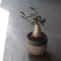 アデニウム ソコトラナム Adeniumu Socotoranum Phet Ban Ha