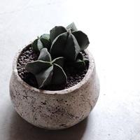 ヘキルリランポー玉(群生株)Astrophytum myriostigma var nudum