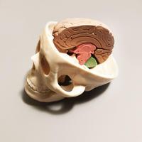 頭蓋骨模型 スカルジョン / マキトー・コンフォート