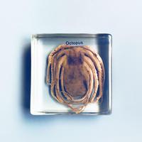 マキトー・コンフォートOctopus Specimen タコの標本