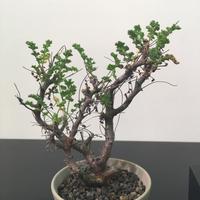Pelargonium alternans ペラルゴニウム アルテルナンス