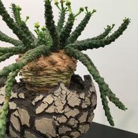Euphorbia gorgonis ユーフォルビア ゴルゴニス 金輪際