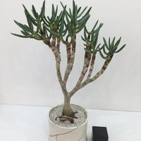 Aloidendron ramosissimum アロイデンドロン ラモシシマム