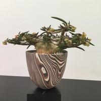 Euphorbia cylindrifolia ユーフォルビア シリンドフォリア