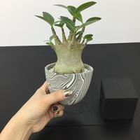 Adenium arabicum アデニウム アラビクム