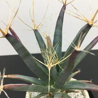 Leuchtenbergia principis レウクテンベルギア 晃山