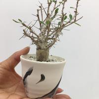 Fouquieria columnaris フォークイエリア 観峰玉