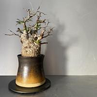 発根済 オペルクリカリア パキプス P08 × 笠間焼 〝銅鏡  煙突鉢〟
