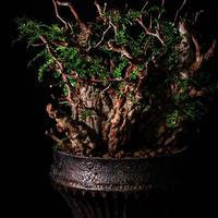 発根済 4頭 マルチヘッド オペルクリカリア パキプス P-14  × 小野瀬 一 作品「the first plants wear」 5号 植木鉢