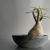 中ぶり Gracilius × Shallow pot L「Ibushi Gin」- 笠間焼 - D08