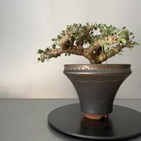 モンソニア サルコカウロン クラシカウレ 発根済 現地株 MS-03 × S.N.Pot - horizon - 5号鉢