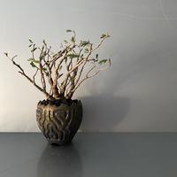 "発根済 センナ BS-09  × S.N.Pot "" 鎬丸""- crown - 3号鉢 [作家  ""根本峻吾""]"