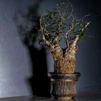 発根済 オペルクリカリア パキプス P-07  × 小野瀬 一 作品「the first plants wear」 植木鉢 6号