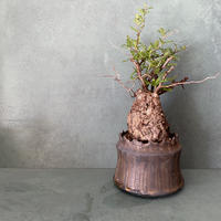 "発根済 パキプス P25  × S.N.Pot ""土管型""- crown - 3号鉢 [作家  ""根本峻吾""]"