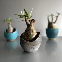 Gracilius × Shelly Pot「Ibushi Gin」 - 笠間焼  - C52