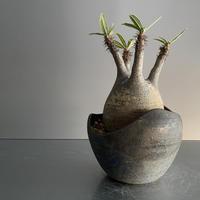 Gracilius × Shell Pot「Ibushi Gin」 - 笠間焼  - D16