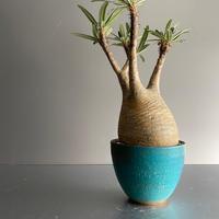 Gracilius M  ×  Flat pot 「Turquoise blue」 - 笠間焼 - C71