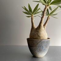Gracilius M  ×  Flat pot 「Ibushi Gin」 - 笠間焼 - C75