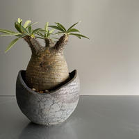 まん丸 Gracilius  ×  Shell pot S「Ibushi Gin」 - 笠間焼 - C93