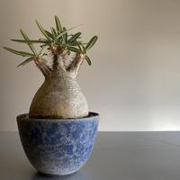 Gracilius  ×  Flat  pot 「Ibushi Gin」 - 笠間焼 - C84