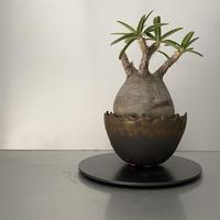 """発根済 グラキリス BG-201 × S.N.Pot """"丸""""- crown - 5号鉢 [作家  """"根本峻吾""""]"""