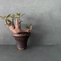 """発根済 マカイエンセ BM-13 × S.N.Pot  - crown - 4号鉢 [作家  """"根本峻吾""""]"""