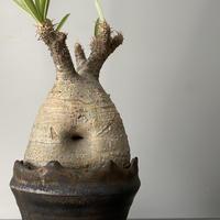 """発根済 グラキリス 現地株 BG-155 × S.N.Pot - crown - 3号鉢 [作家  """"根本峻吾""""]"""