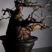 発根済 オペルクリカリア パキプス P-12  × 小野瀬 一 作品「the first plants wear」 6号 植木鉢