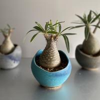 Gracilius  ×  Shelly pot 「Turquoise blue」 - 笠間焼 - C62