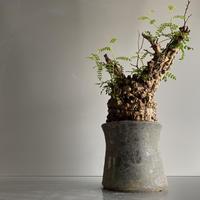 発根済 オペルクリカリア パキプス P02 × 笠間焼 〝燻し銀  煙突鉢〟