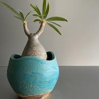 ミニ鬼 Gracilius  ×  Shell pot S「Turquoise blue」 - 笠間焼 - C98