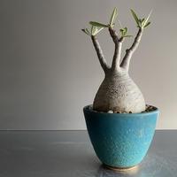 Gracilius  ×  Flat pot S「Turquoise blue」 - 笠間焼 - D11
