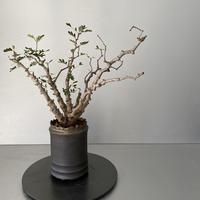 センナ メリディオナリス  発根済 現地株 SE-01 × S.N.Pot - crown - 3号鉢