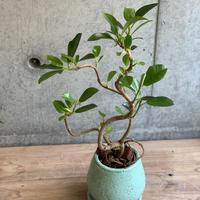 フランスゴムの木(1年超え根付き)