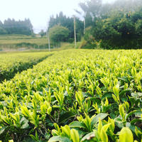✨希少品種✨2019年度産 くりたわせ 栗田早生  オーガニック緑茶 ✨ japanese organic  green tea kuritawase