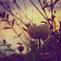 花●シロツメクサ